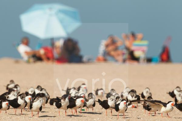 Black Skimmer (Rynchops niger) flock, standing on beach, with people sunbathing in background, Florida, U.S.A., February