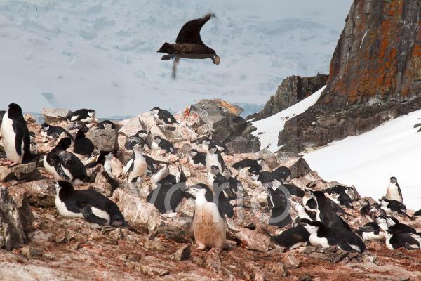 Antarctic Skua (Catharacta antarctica) adult, in flight, with egg in beak stolen from Chinstrap Penguin (Pygoscelis antarcticus) nesting colony, Antarctic Peninsula, Antarctica, November