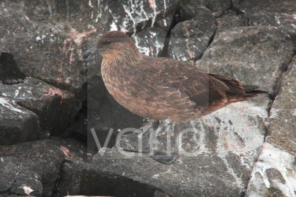 Chilean Skua (Catharacta chilensis) adult, standing on rock, Ushuaia, Tierra del Fuego, Argentina, december