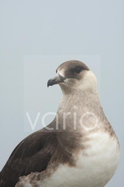 Arctic Skua (Stercorarius parasiticus) pale phase, adult, close-up of head and neck, Mousa, Shetland Islands, Scotland, july