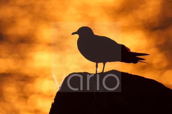 Arctic Skua (Stercorarius parasiticus) adult, silhouette on rock beside sea at sunset, Mousa, Shetland Islands, Scotland, june