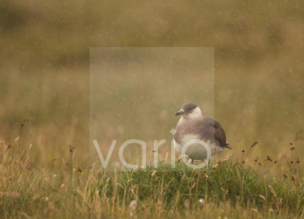 Arctic Skua (Stercorarius parasiticus) adult, pale phase, standing on open coastal moorland during heavy rain, Shetland Islands, Scotland, july