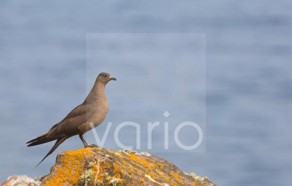 Arctic Skua (Stercorarius parasiticus) adult, dark phase, standing on coastal rock, Shetland Islands, Scotland, july