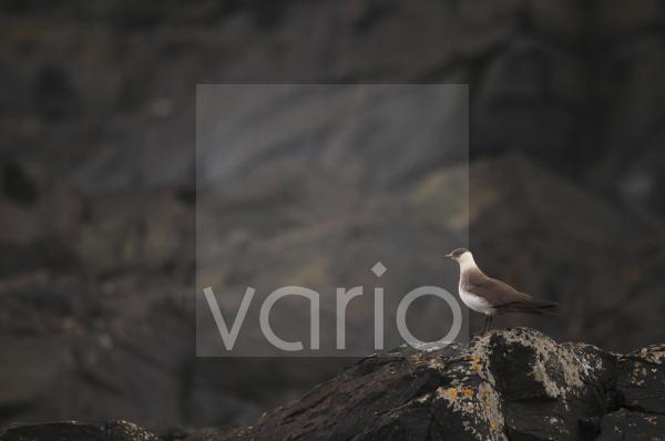 Arctic Skua (Stercorarius parasiticus) adult, pale phase, standing on coastal rocks, Shetland Islands, Scotland, july