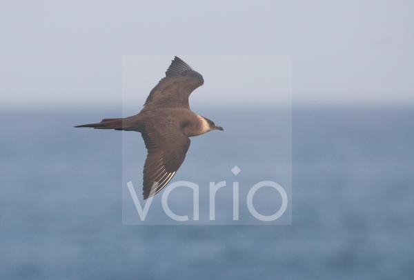 Arctic Skua (Stercorarius parasiticus) adult, in flight over sea, Shetland Islands, Scotland, july