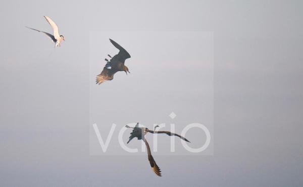 Arctic Skua (Stercorarius parasiticus) adult pair, in flight, chasing Arctic Tern (Sterna paradisaea) for catch, Shetland Islands, Scotland, july