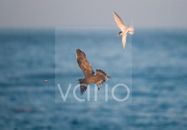 Arctic Skua (Stercorarius parasiticus) adult, in flight, chasing Arctic Tern (Sterna paradisaea) for catch, Shetland Islands, Scotland, july