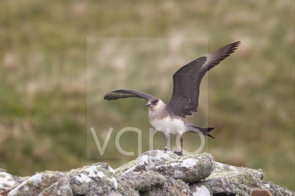 Arctic Skua (Stercorarius parasiticus) pale phase, adult, with wings spread, landing on drystone wall, Shetland Islands, Scotland, june