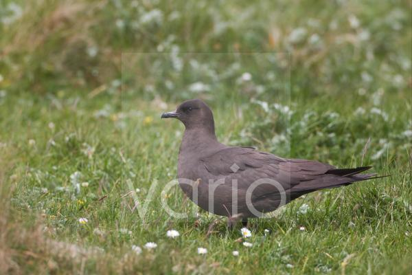 Arctic Skua (Stercorarius parasiticus) dark phase, adult, standing on grass, Shetland Islands, Scotland, june