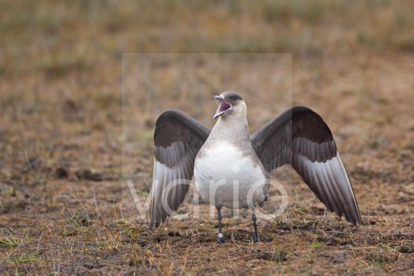 Arctic Skua (Stercorarius parasiticus) pale phase, adult, calling and spreading wings, Shetland Islands, Scotland, june