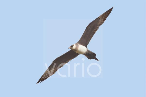 Arctic Skua (Stercorarius parasiticus) pale phase, adult, in flight, Shetland Islands, Scotland, june