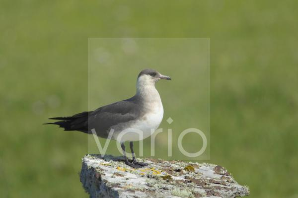 Arctic Skua (Stercorarius parasiticus) pale phase, adult, standing on rock in breeding ground, Mousa Island, Shetland Islands, Scotland