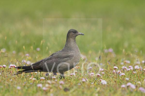 Arctic Skua (Stercorarius parasiticus) dark phase, adult, standing amongst thrift in breeding ground, Mousa Island, Shetland Islands, Scotland