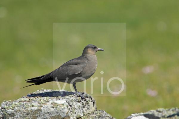 Arctic Skua (Stercorarius parasiticus) dark phase, adult, standing on rock in breeding ground, Mousa Island, Shetland Islands, Scotland