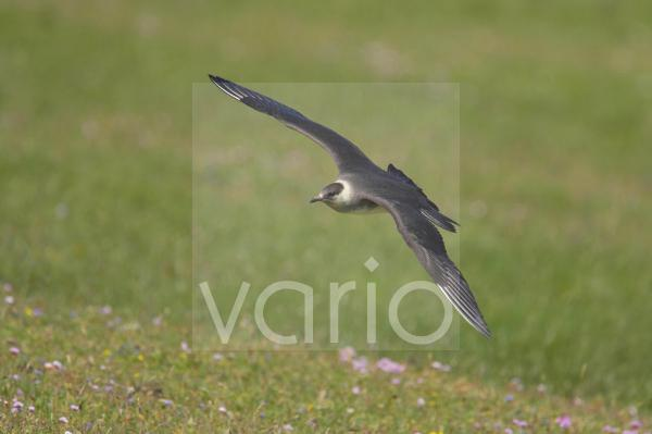 Arctic Skua (Stercorarius parasiticus) pale phase, adult, in low flight over ground, Mousa Island, Shetland Islands, Scotland