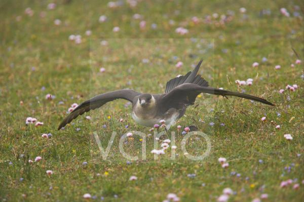 Arctic Skua (Stercorarius parasiticus) pale phase, adult, in threatening display on ground, Mousa Island, Shetland Islands, Scotland