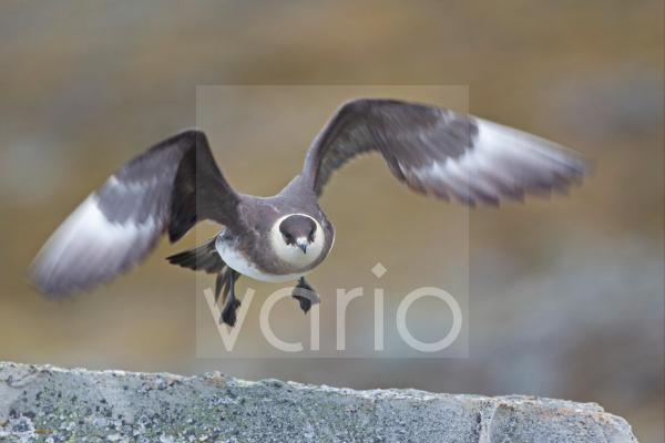 Arctic Skua (Stercorarius parasiticus) pale phase, adult, in flight, taking off from rock, Spitzbergen, Svalbard, july