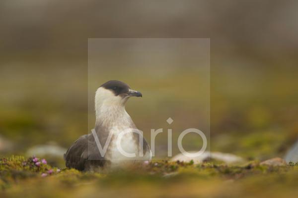 Arctic Skua (Stercorarius parasiticus) light phase, adult, sitting on ground, Svalbard, june