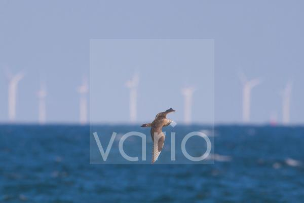 Arctic Skua (Stercorarius parasiticus) juvenile, in flight, on migration over sea, with offshore windfarm in distance, Norfolk, England, September