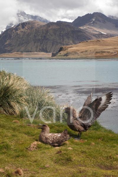 Subantarctic Skua (Stercorarius lonnbergi) adult pair, displaying in coastal habitat, Grytviken Harbour, South Georgia, November