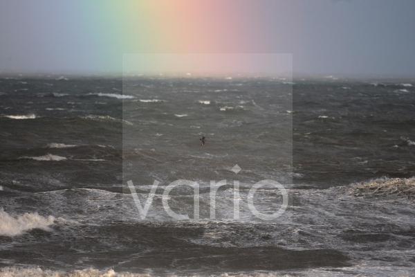 Great Skua (Stercorarius skua) adult, in flight, over rough sea with rainbow, Norfolk, England, december