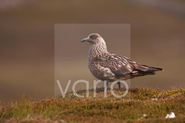 Great Skua (Stercorarius skua) adult, standing on coastal moorland, Scotland, summer