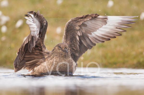 Great Skua (Stercorarius skua) adult, bathing in freshwater pool, Shetland Islands, Scotland, june