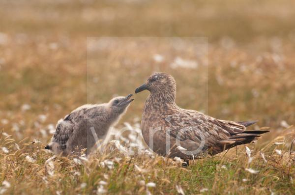 Great Skua (Stercorarius skua) adult, with chick begging for food, standing on open moorland, Shetland Islands, Scotland, july