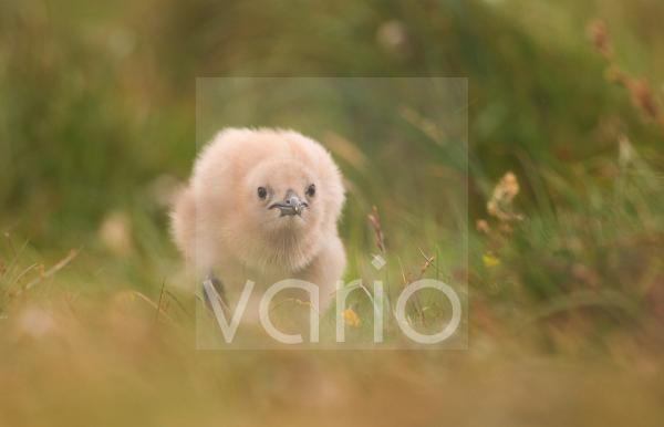 Great Skua (Stercorarius skua) chick, walking towards parent to beg for food, Shetland Islands, Scotland, july