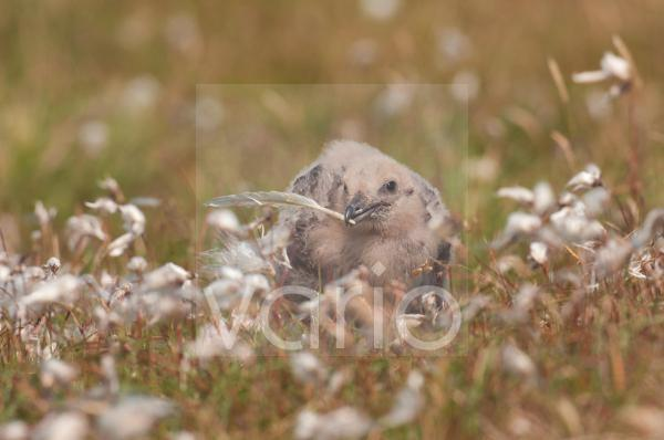 Great Skua (Stercorarius skua) chick, playing with feather, amongst cotton-grass on open moorland, Shetland Islands, Scotland, july