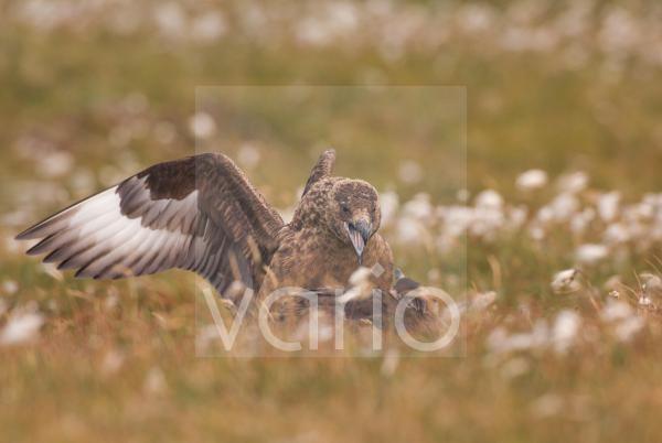 Great Skua (Stercorarius skua) adult, in aggressive territorial display to sub-adult, Shetland Islands, Scotland, june
