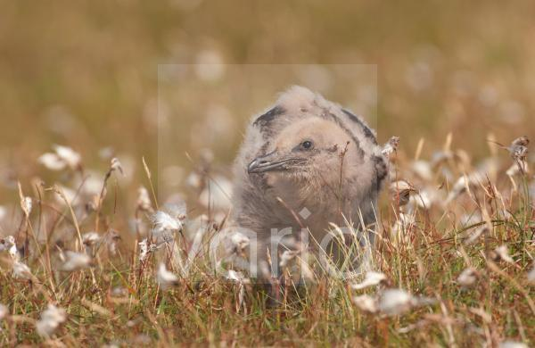 Great Skua (Stercorarius skua) chick, standing amongst cotton-grass on open moorland, Shetland Islands, Scotland, july