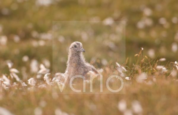 Great Skua (Stercorarius skua) chick, amongst cotton-grass on open moorland, Shetland Islands, Scotland, july