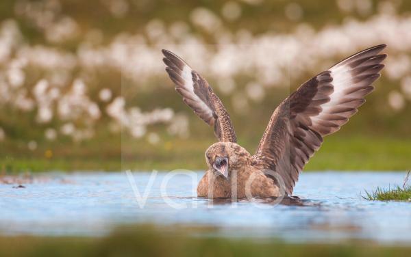 Great Skua (Stercorarius skua) adult, bathing, calling and wing stretching, territorial display to skua overhead, Shetland Islands, Scotland, june