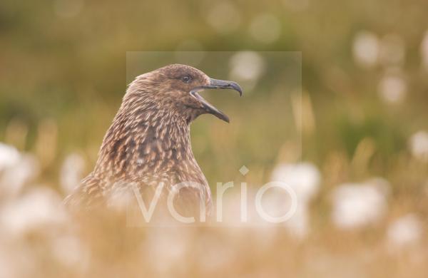 Great Skua (Stercorarius skua) adult, calling, territorial display to skua passing overhead, Shetland Islands, Scotland, june