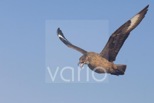 Great Skua (Stercorarius skua) adult, calling in flight, territorial display to warn approaching skua, Shetland Islands, Scotland, june