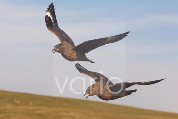 Great Skua (Stercorarius skua) adult pair, calling in flight, territorial display to warn approaching skua, Shetland Islands, Scotland, june