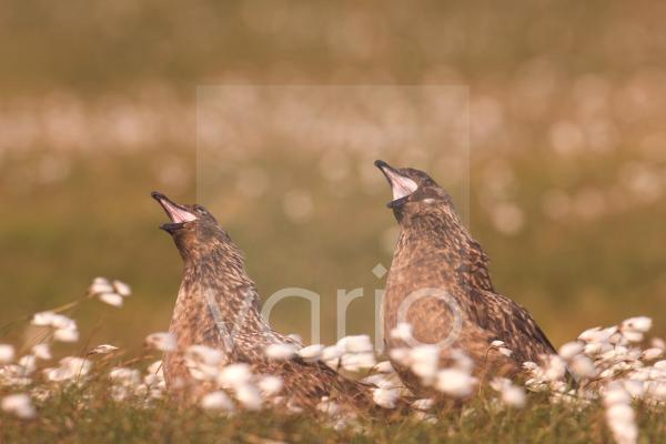 Great Skua (Stercorarius skua) adult pair, in territorial display, to skua passing overhead, Shetland Islands, Scotland, june