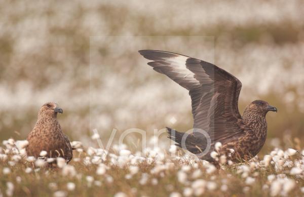 Great Skua (Stercorarius skua) adult pair, wing stretching in territorial display, to skua passing overhead, Shetland Islands, Scotland, july