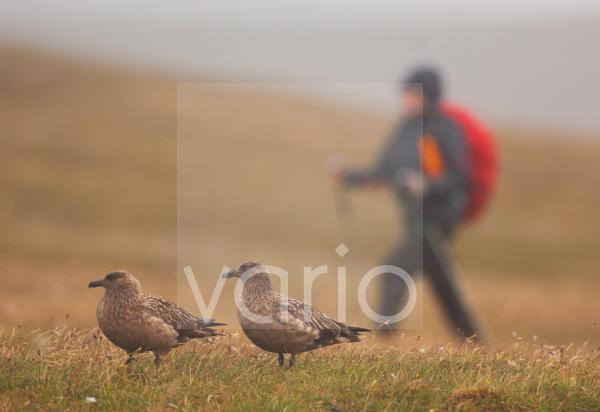 Great Skua (Stercorarius skua) adult pair, standing on misty moorland with walker, Shetland Islands, Scotland, june