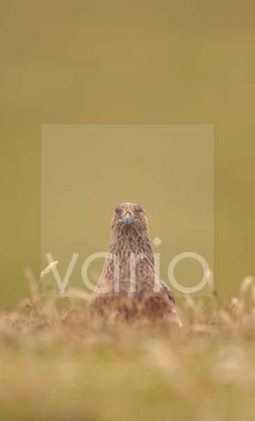 Great Skua (Stercorarius skua) adult, standing on open moorland, Shetland Islands, Scotland, july