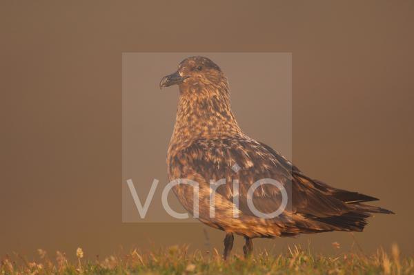 Great Skua (Stercorarius skua) adult, standing in dawn light, Shetland Islands, Scotland, july
