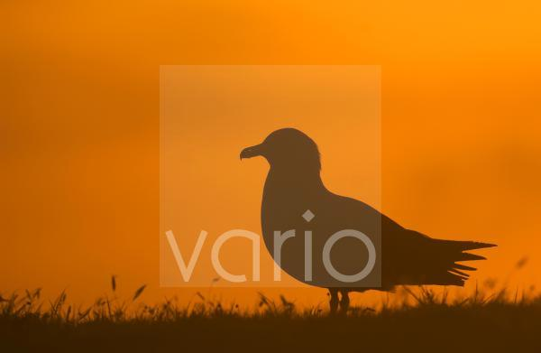Great Skua (Stercorarius skua) adult, silhouetted in evening sunlight, Shetland Islands, Scotland, july