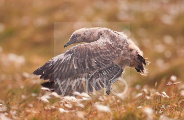Great Skua (Stercorarius skua) chick, trying to take flight by leaping off ground, Shetland Islands, Scotland, july