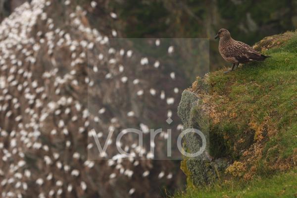 Great Skua (Stercorarius skua) adult, standing on clifftop, overlooking Northern Gannet (Morus bassanus) colony in distance, Unst, Shetland Islands, Scotland, august