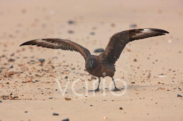 Great Skua (Stercorarius skua) immature, with wings spread, taking off from beach, Norfolk, England, october