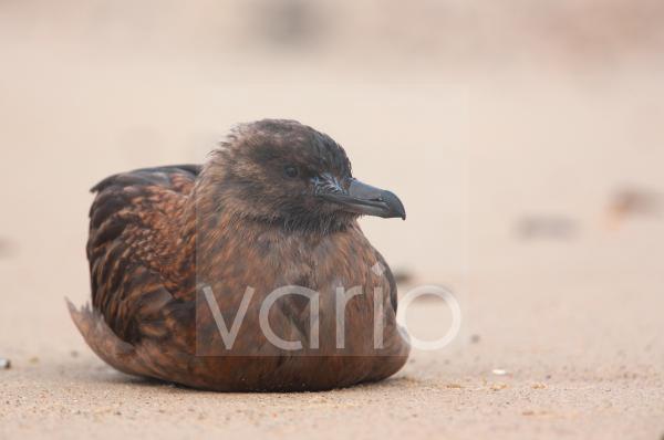 Great Skua (Stercorarius skua) immature, resting on beach, Norfolk, England, october