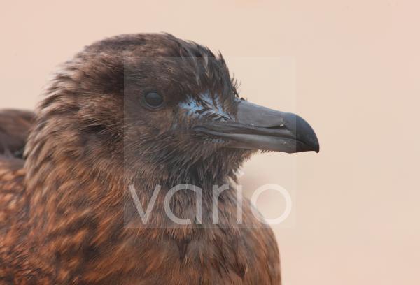 Great Skua (Stercorarius skua) immature, close-up of head, Norfolk, England, october