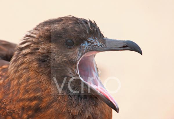 Great Skua (Stercorarius skua) immature, yawning, close-up of head, Norfolk, England, october