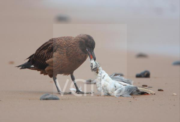 Great Skua (Stercorarius skua) immature, feeding on Black-headed Gull  (Larus ridibundus) carcass, standing on beach, Norfolk, England, october